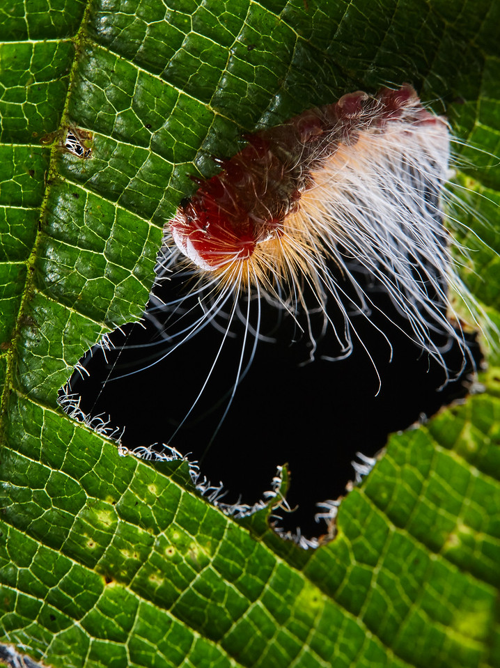 Backlit caterpillar munching on leaf