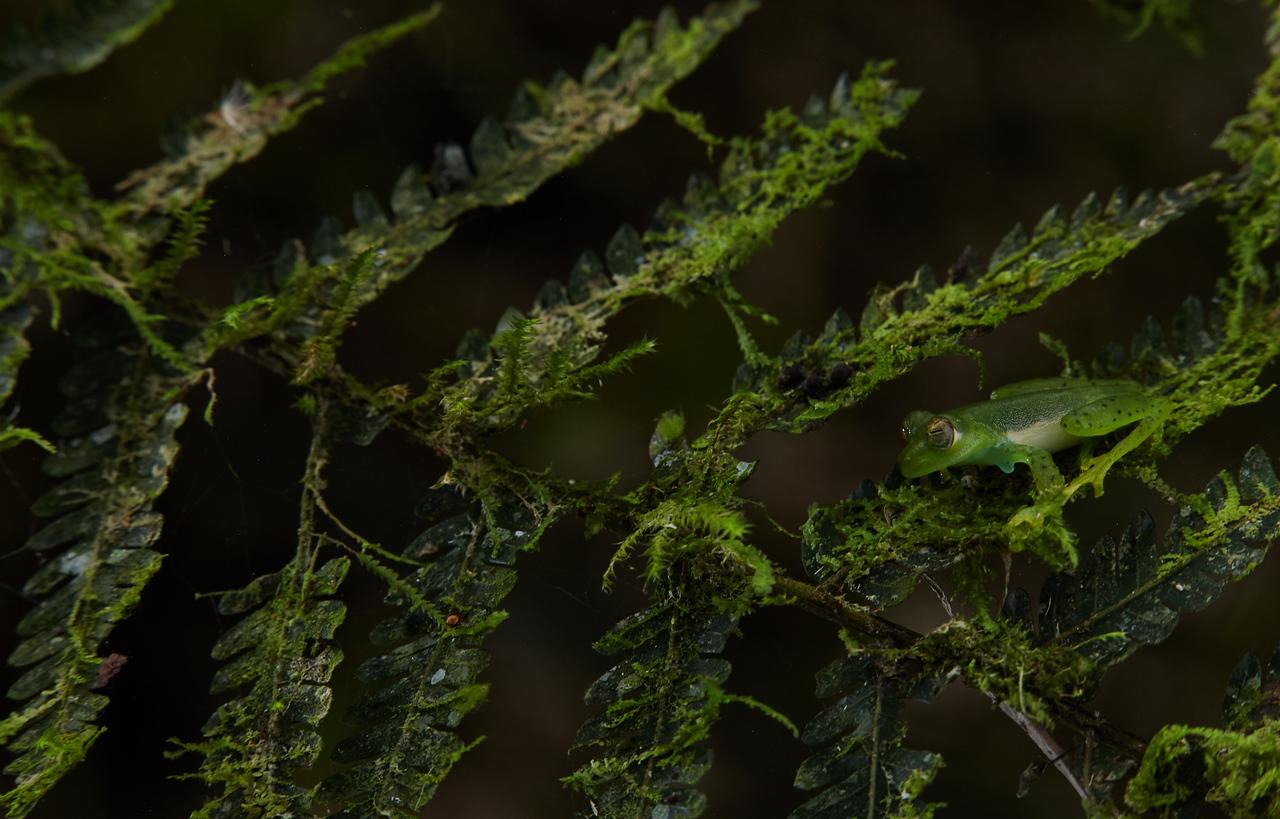 Glass frog (Centrolenidae)