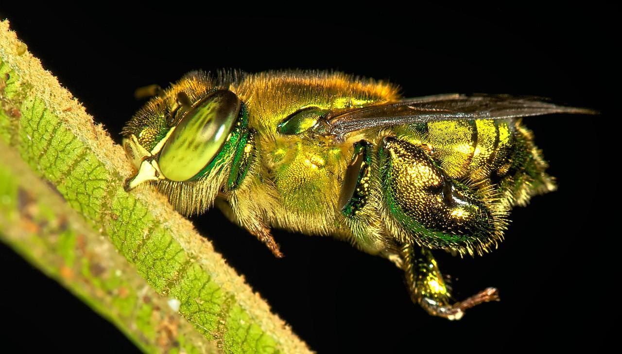 Euglossine bee (Euglossinae)