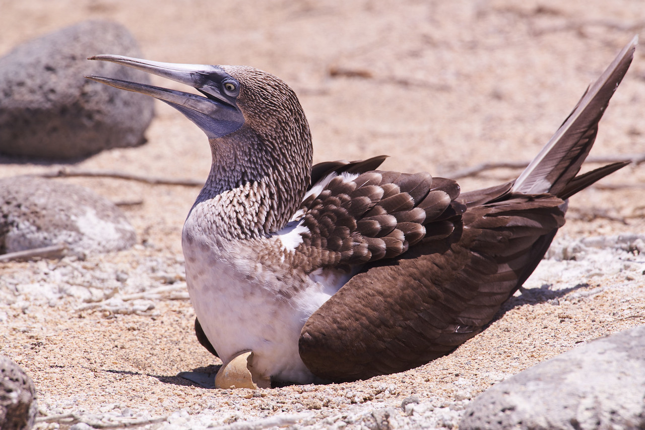 Female blue-footed booby with newly hatched chick
