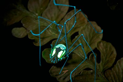 Harvestman (Cosmetidae) under UV light