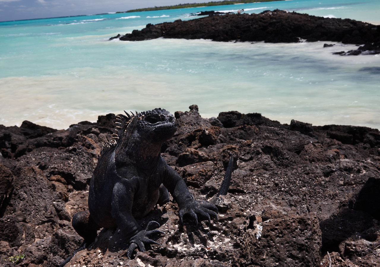 Marine iguana at Garrapatero beach
