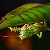 Spiny katydid (Panacanthus cuspidus)