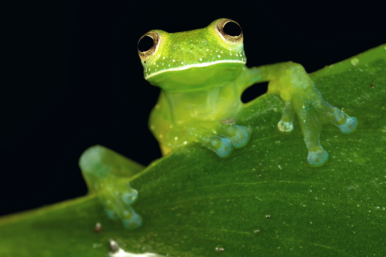 Glass frog (Espadarana prosoblepon)