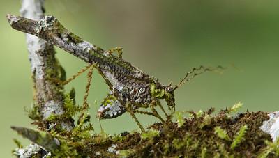 Lichen-mimicking katydid (Paraphidnia sp.)