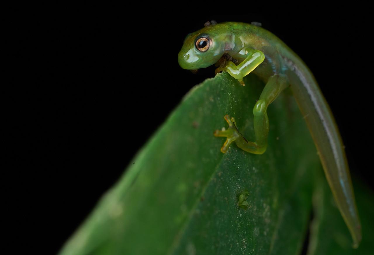 Juvenile glassfrog (Centrolenidae)