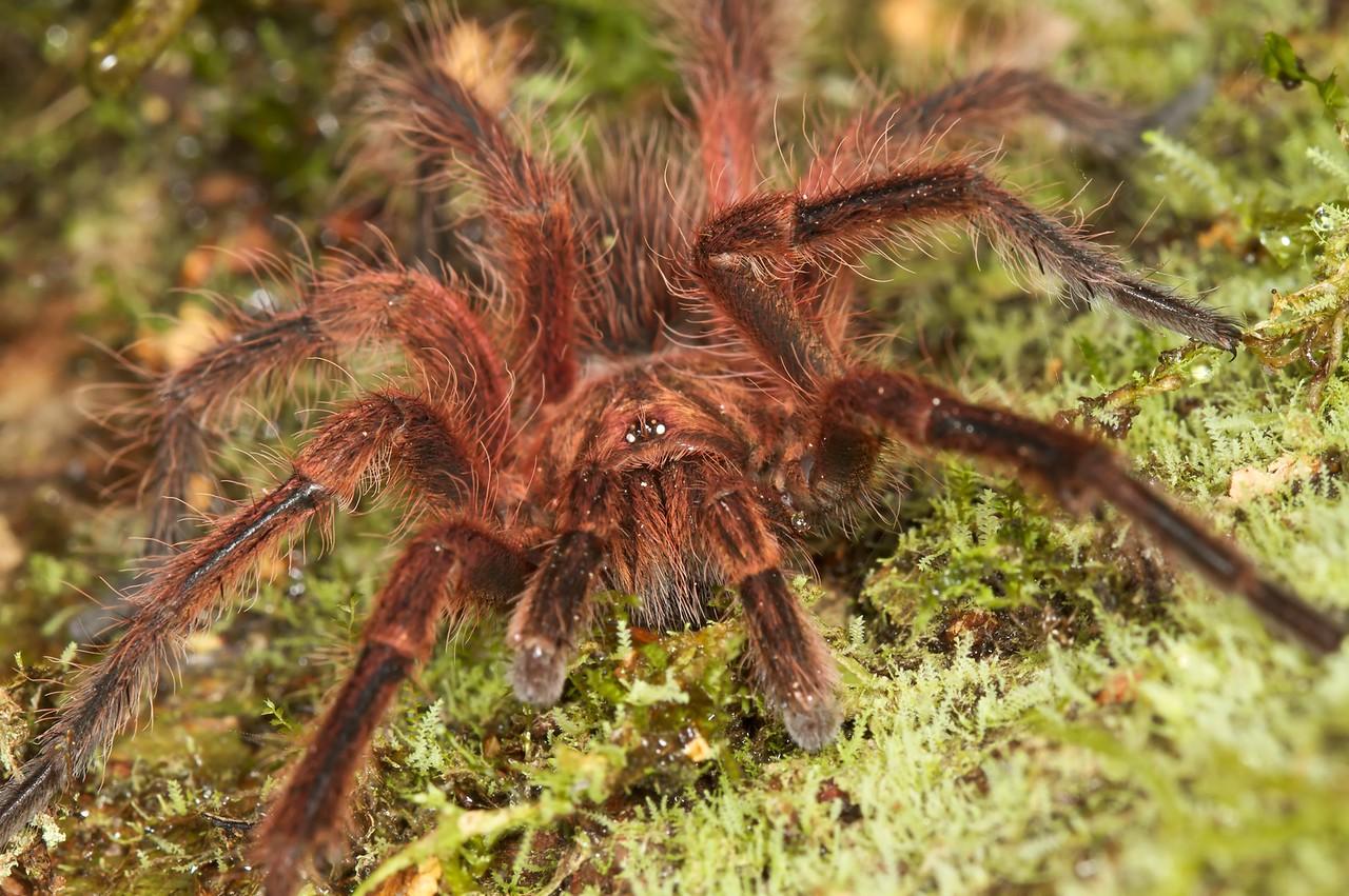 Red haired tarantula (Mygalomorph)
