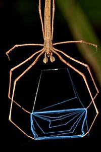 Ogre-faced spider (Deinopis sp.) with web
