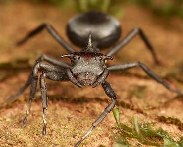 Turtle ant-mimicking crab spider (Aphantochilus rogersi)