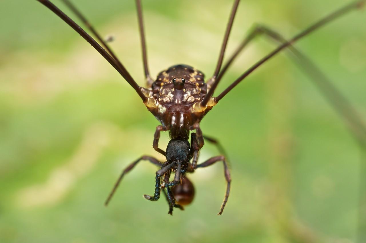 Harvestman with ant prey