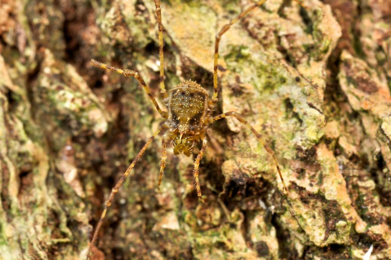 Harvestman (Podoctidae)