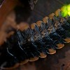 Firefly (Lampyridae) with bioluminescent 'tail'