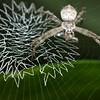 Juvenile St. Andrew's cross spider (Argiope sp.)