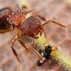 Myrmecine ant (Meranoplus sp.) tending to juvenile cicadellid