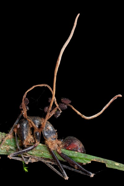 Carpenter ant (Camponotus gigas) infected with cordyceps fungus (Ophiocordyceps halabalaensis)