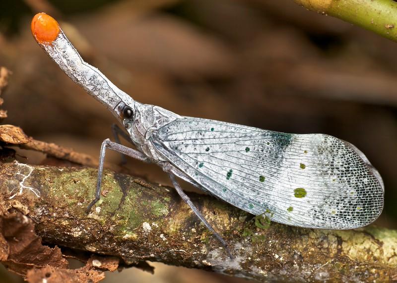 Lantern bug (Pyrops ruehli)