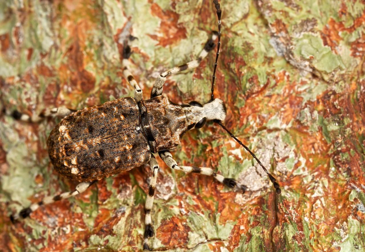 Fungus weevil (Tophoderes sp.)
