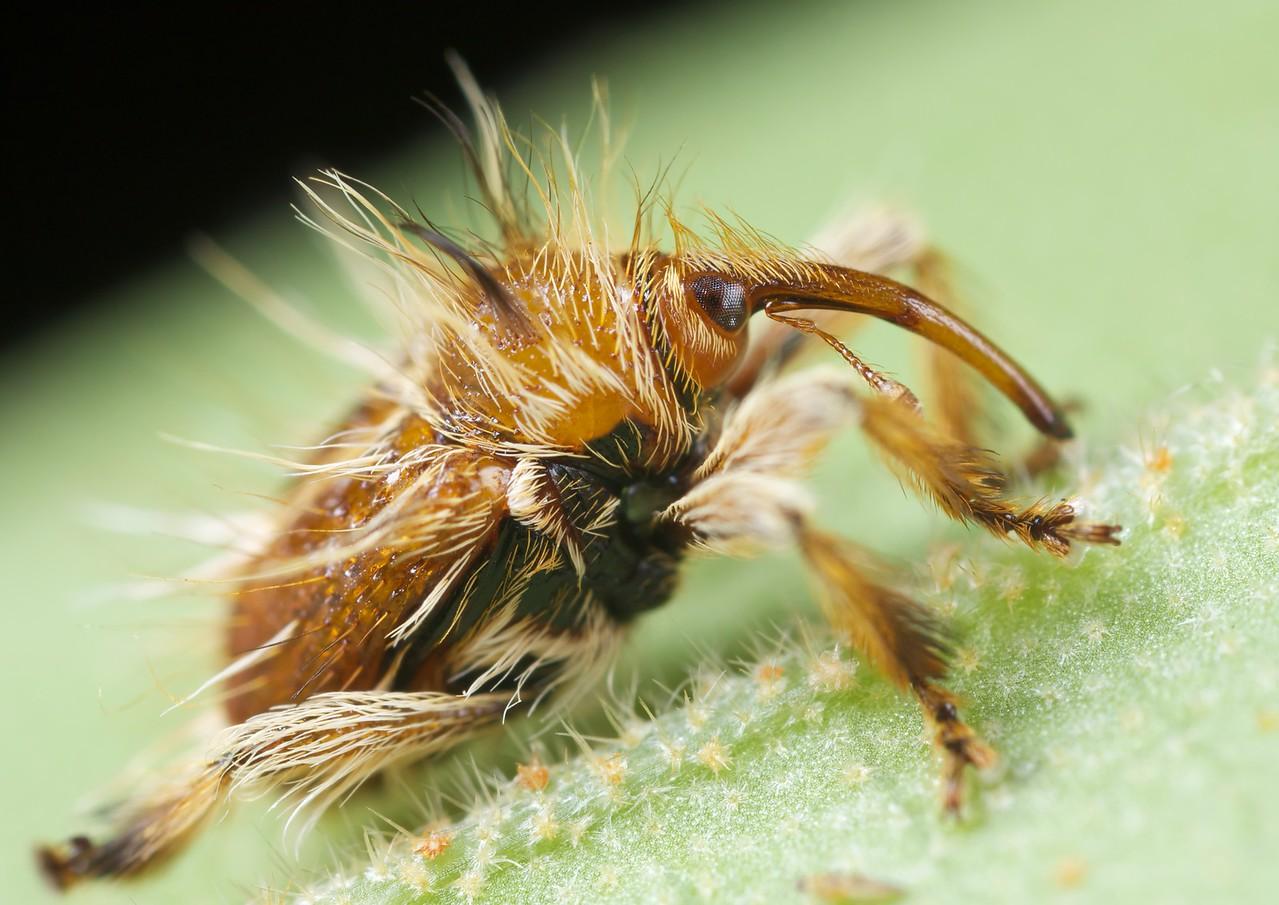 Small hairy weevil (Cucurlionidae)