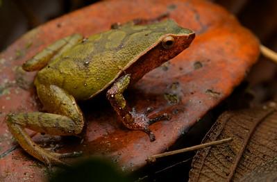 Microhylid frog (Plethodontohyla guentheri)