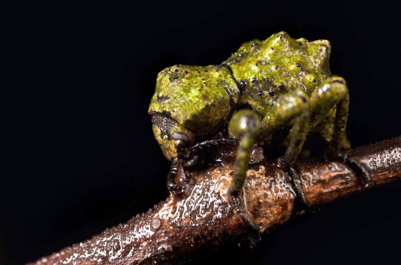 Cryptic algae weevil
