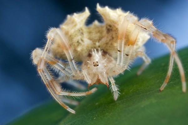 Bolas spider (Acantharachne milloti)
