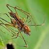 Assassin spider (Eriachenius sp.) cannibalism