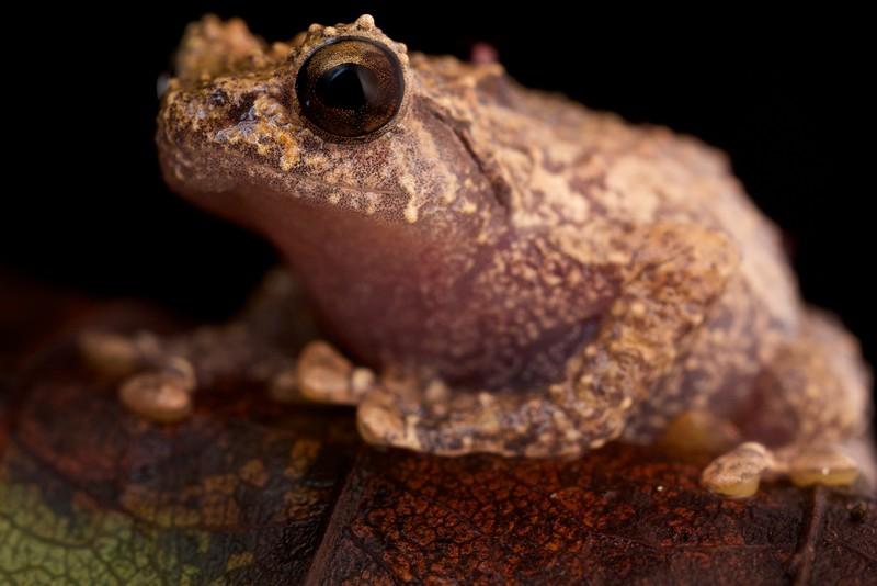 Barbour's giant tree frog (Platypelis barbouri)