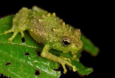 Boulenger's giant tree frog (Platypelis grandis)