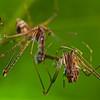 Assassin spider (Eriauchenius sp.) cannibalism