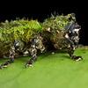 Weevil with epizootic moss garden