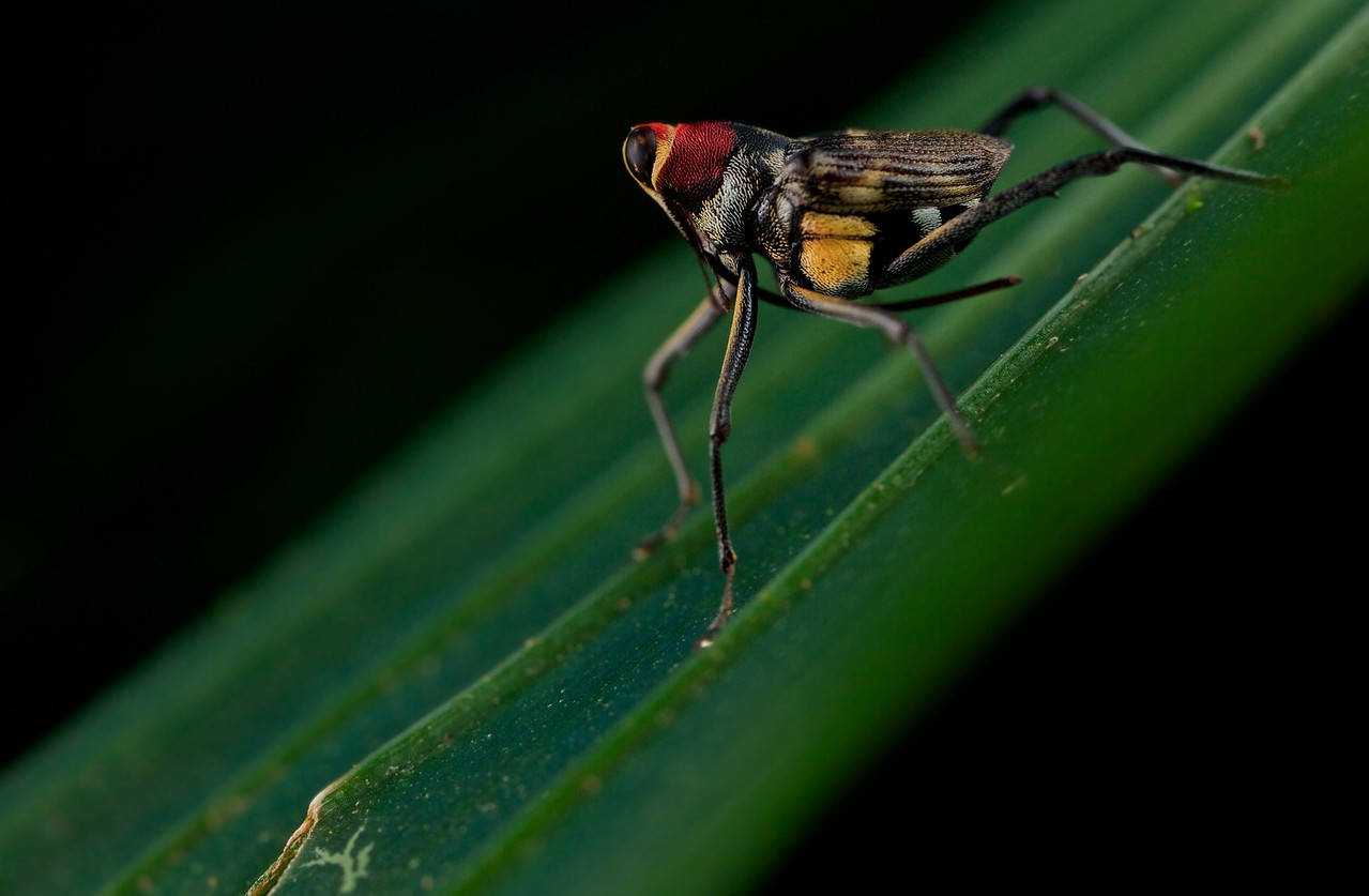 Sarcophagid fly-mimicking weevil (Conoderinae)