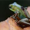 "Male strawberry poison arrow frog (Oophaga pumilio) ""Isla Popa"" morph carrying tadpole"