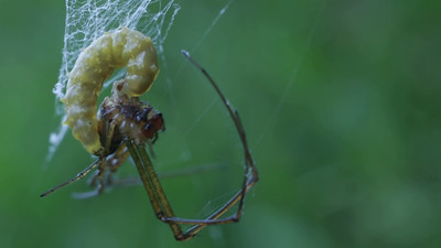 Parasitoid wasp larva feeding on spider (Leucauge sp.?) host