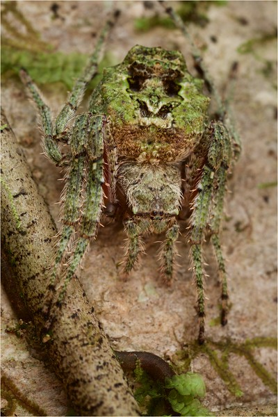 Moss coloured orbweaver spider (Parawixia sp.)