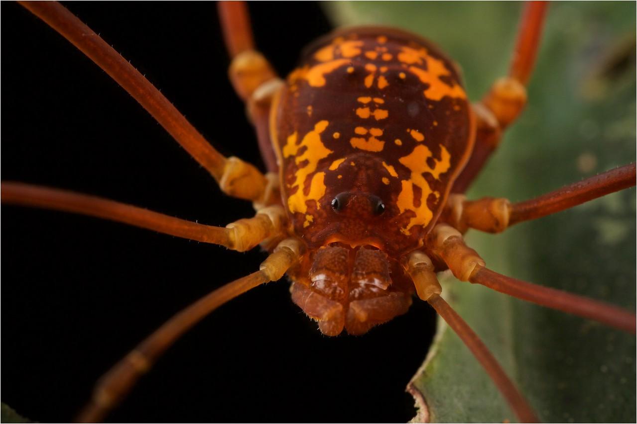 Cosmetid harvestman with orange dorsal markings