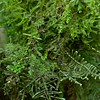 Camouflaged female mossy stick insect