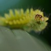 Moss-mimicking lycaenid caterpillar