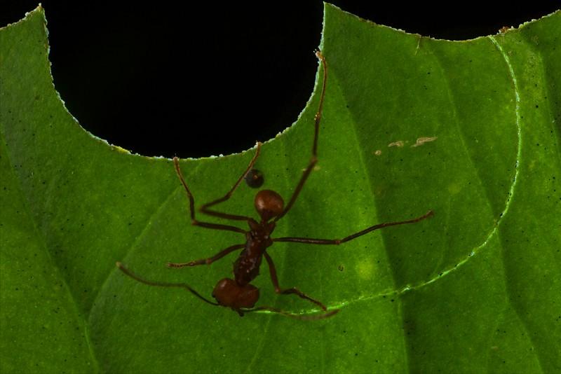 Leafcutter ant (Atta sp.)