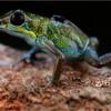 "Male strawberry poison arrow frog (Oophaga pumilio) ""Isla Popa"" carrying tadpole"