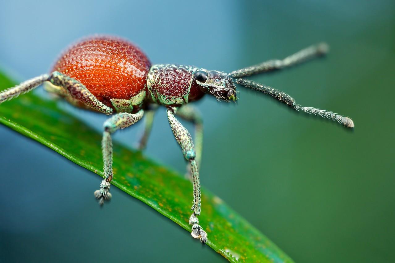 Orange broad-nosed weevil