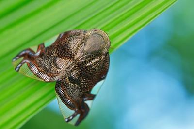 Jumping spider-mimicking ricaniid hopper