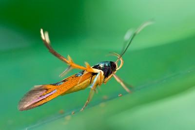 Wasp-mimicking moth (Staphmopodidae)