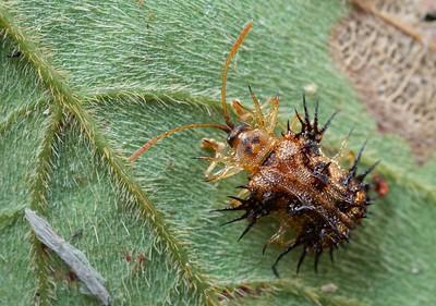 Spiny leaf beetle (Hispinae)