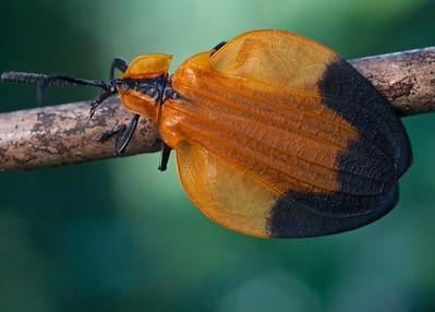 Long-nosed net winged beetle (Lycus cf. melanurus)