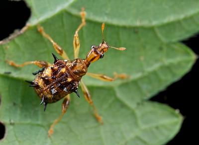 Spiny leaf beetle (Apoderinae)