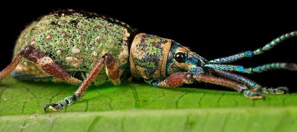 Broad-nosed weevil (Entimidae)
