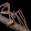 Camouflaged huntsman spider
