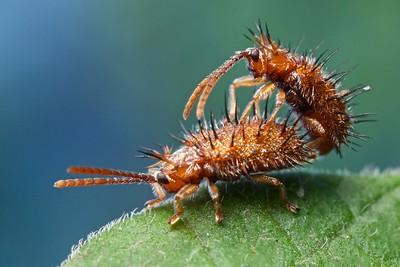 Mating spiny leaf beetles (Hispinae_