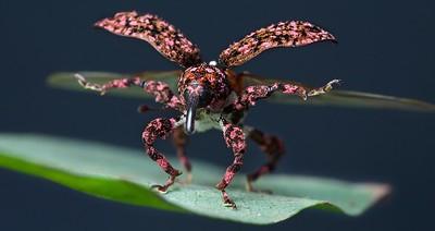 Pink weevil taking flight
