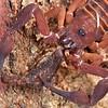 Scorpion cannibalism